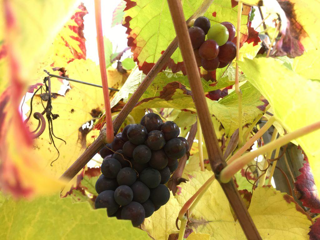 Les Arpents du Soleil : vin de normandie
