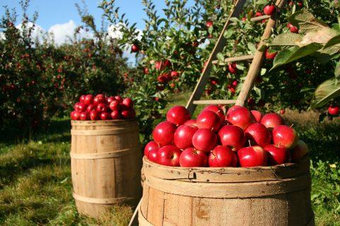 Récoltes des pommes dans les vergers de Normandie.