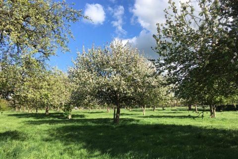 Pommiers en fleurs dans le Pays d'Auge
